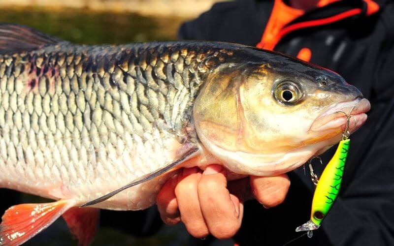Baits for Perch